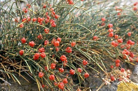 Tìm hiểu cây thuốc quý dược liệu Ma Hoàng