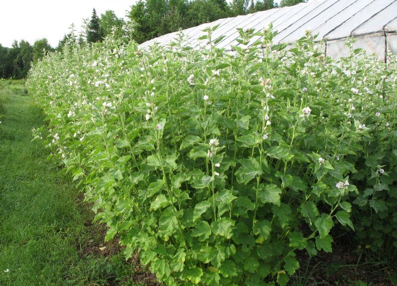 Rễ Cây Marshmallow dùng để làm siro ho