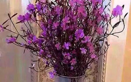 Chơi tết Mậu Tuất với hoa đỗ quyên? Thưc hư về việc hoa có độc?